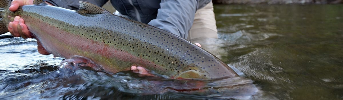 wto_guided_flyfishing_deschutes_steelhead_humpback