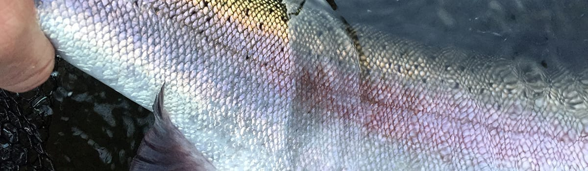 wto_guided_flyfishing_deschutes_steelhead_upclose_2