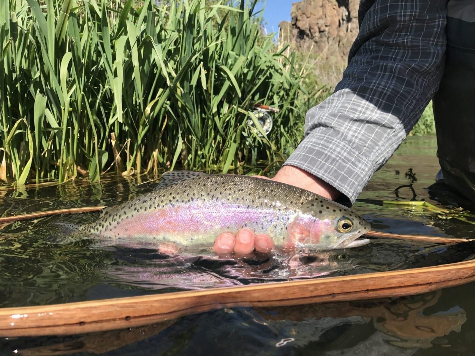 Deschutes River Redband Trout.