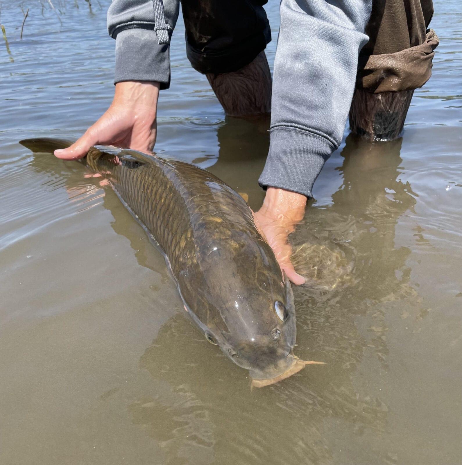 Common Carp from Oregon's Columbia River